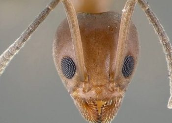 smallest Insect of the world