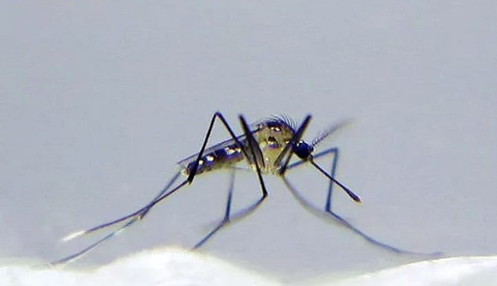 Uranotaenia Lowii Mosquito – The Smallest Mosquito on the Earth