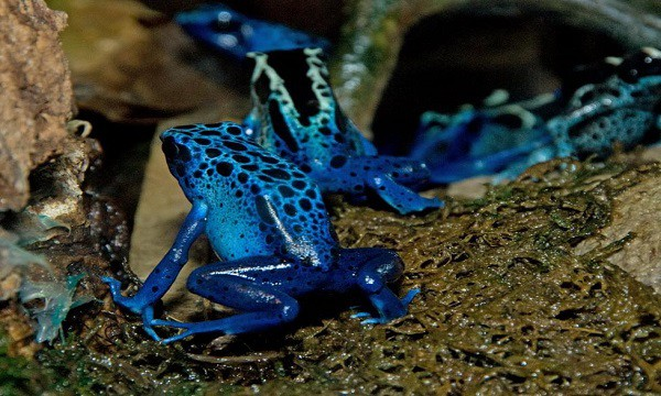 Poison dart frog - most poisonous animals in the world