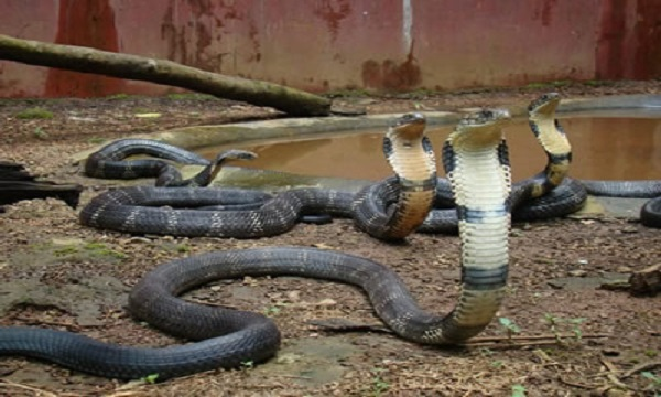 King Snake - most dangerous creature in the world