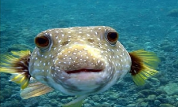 puffer fish - most poisonous animals in the world