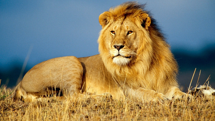 lion-most dangerous animals in the world