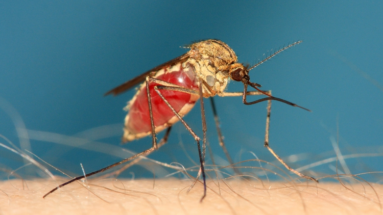 mosquito - most dangerous animals of the world