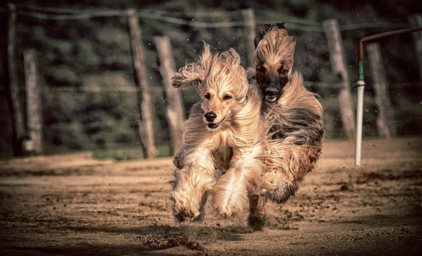 The fastest dogs in the world - Afghan Hound