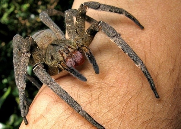 Spiders Armaments - One of the most dangerous spiders in the world