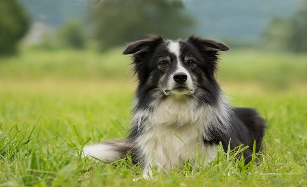 fastest dogs in the world Border Collie