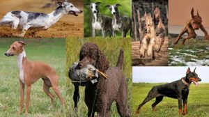 THE FASTEST DOG BREEDS IN THE WORLD- [UPDATED]