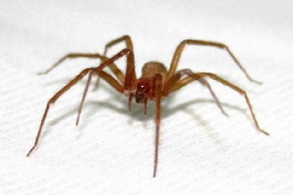 Brown Spider - most dangerous spiders in the world