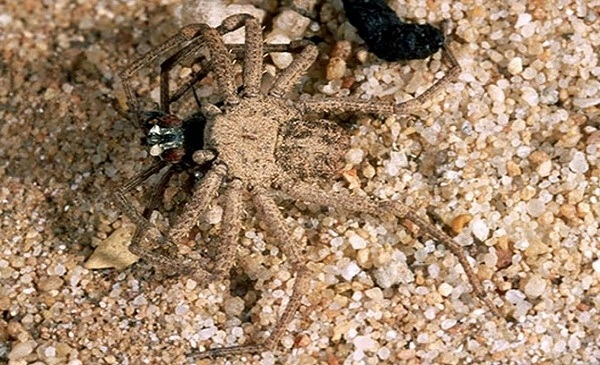 Sand Spider - most dangerous spiders in the world