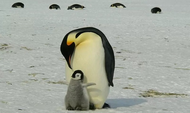 King penguin - largest bird species in the world
